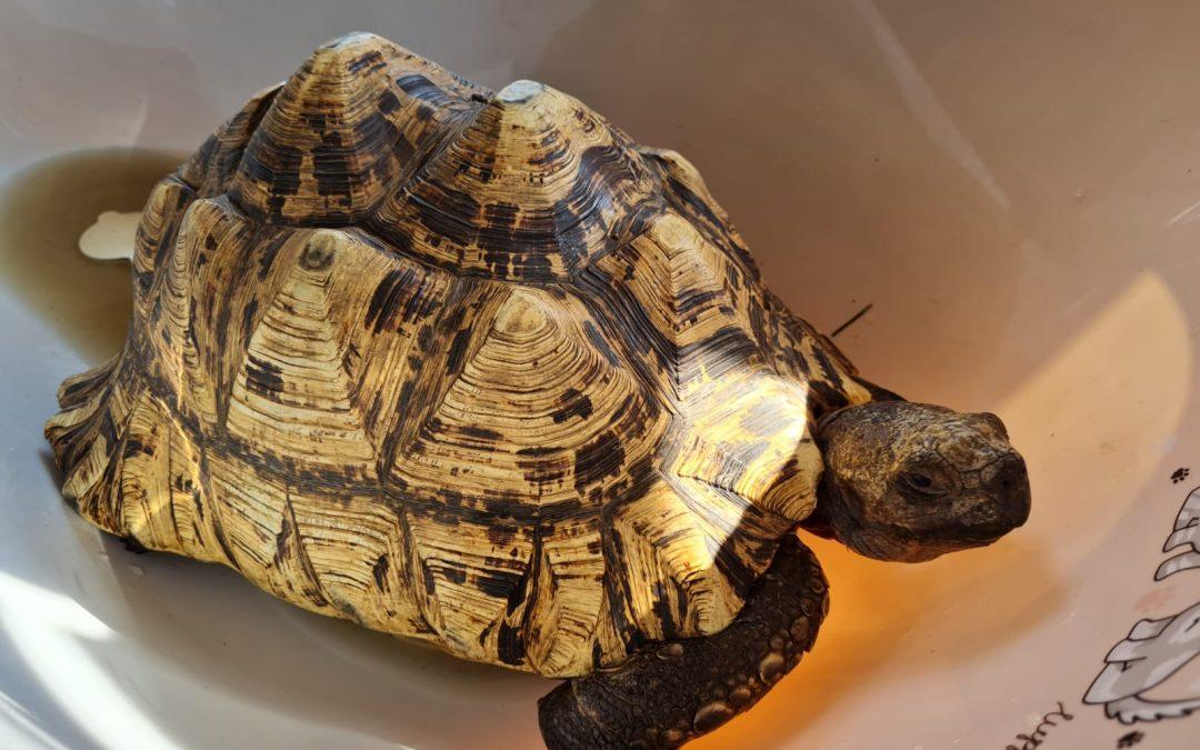 Griechische Landschildkröte **Fund aus Fritzlar**