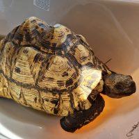 Foto von Griechische Landschildkröte