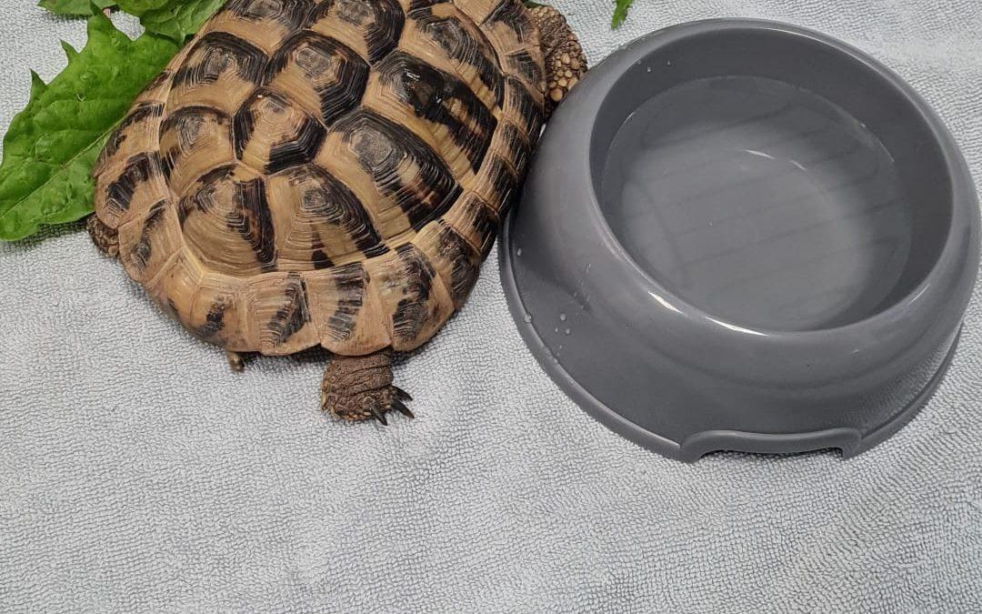 Landschildkröte **Fundschildkröte aus Fritzlar-Werkel**