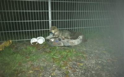 Junghund am Tierheimzaun festgebunden….